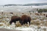 Yellowstone bizoní pár